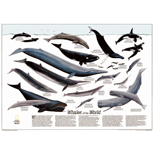 Whales of the World Wall Map